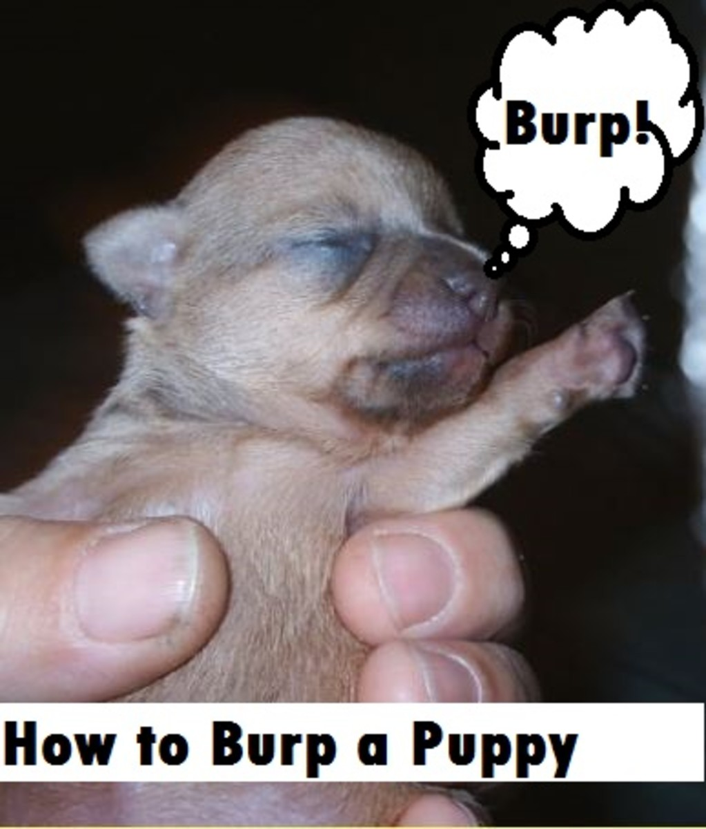 how to burp a puppy