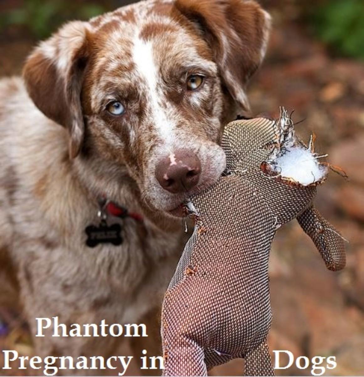 phantom pregnancy in dogs