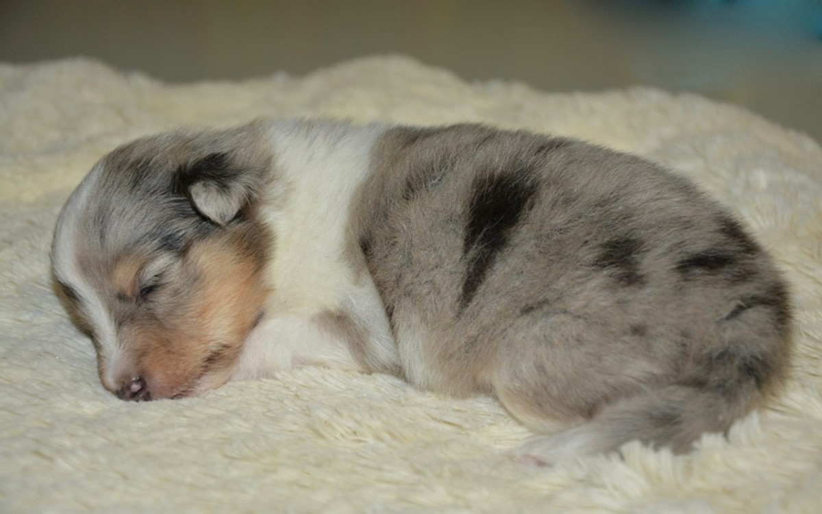 Save a Newborn Puppy That Isn't Breathing