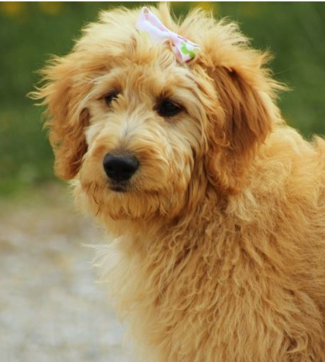 There are different types of goldendoodle generations