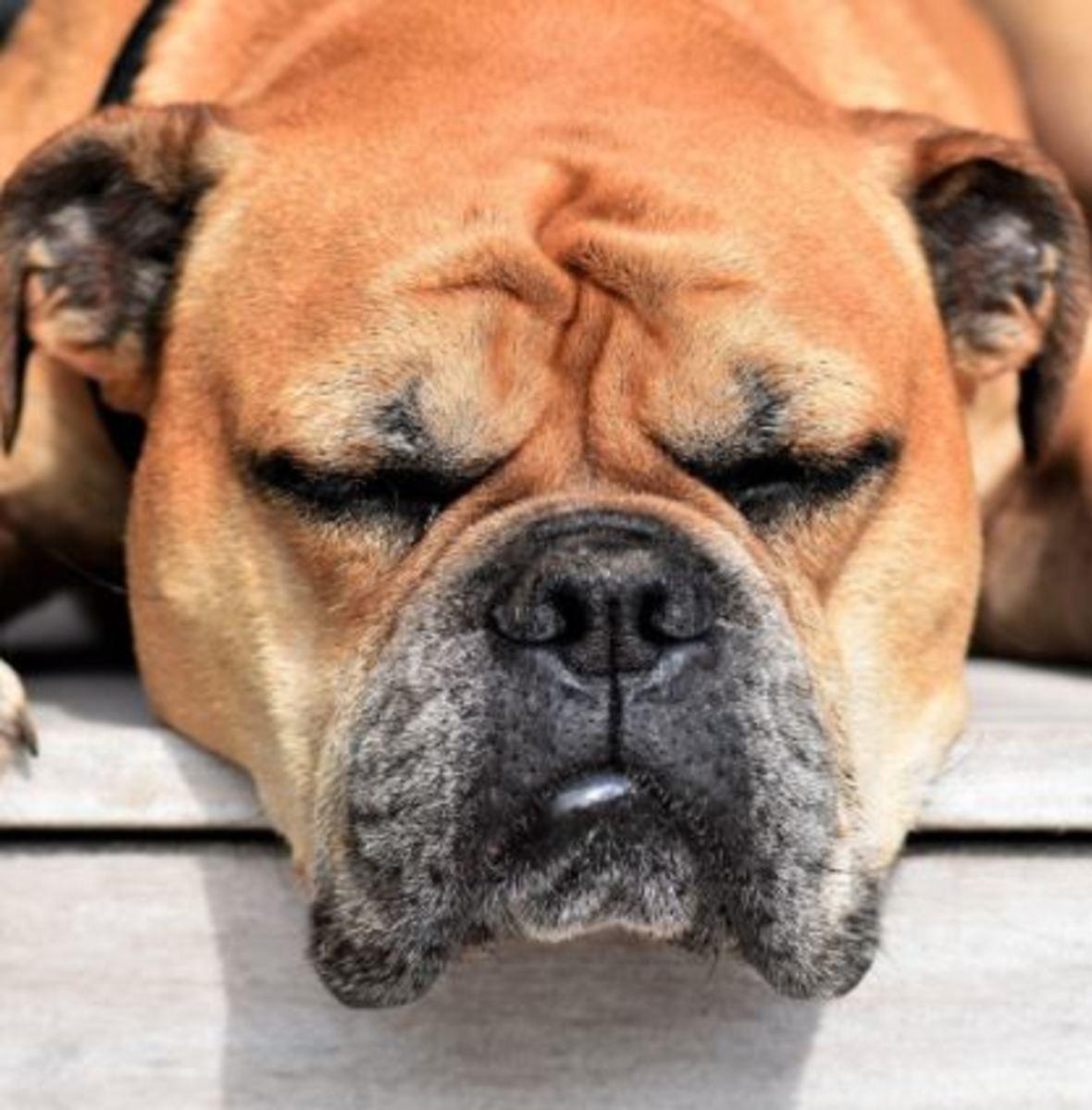 Styes on a Dog's Eyelids Remedies
