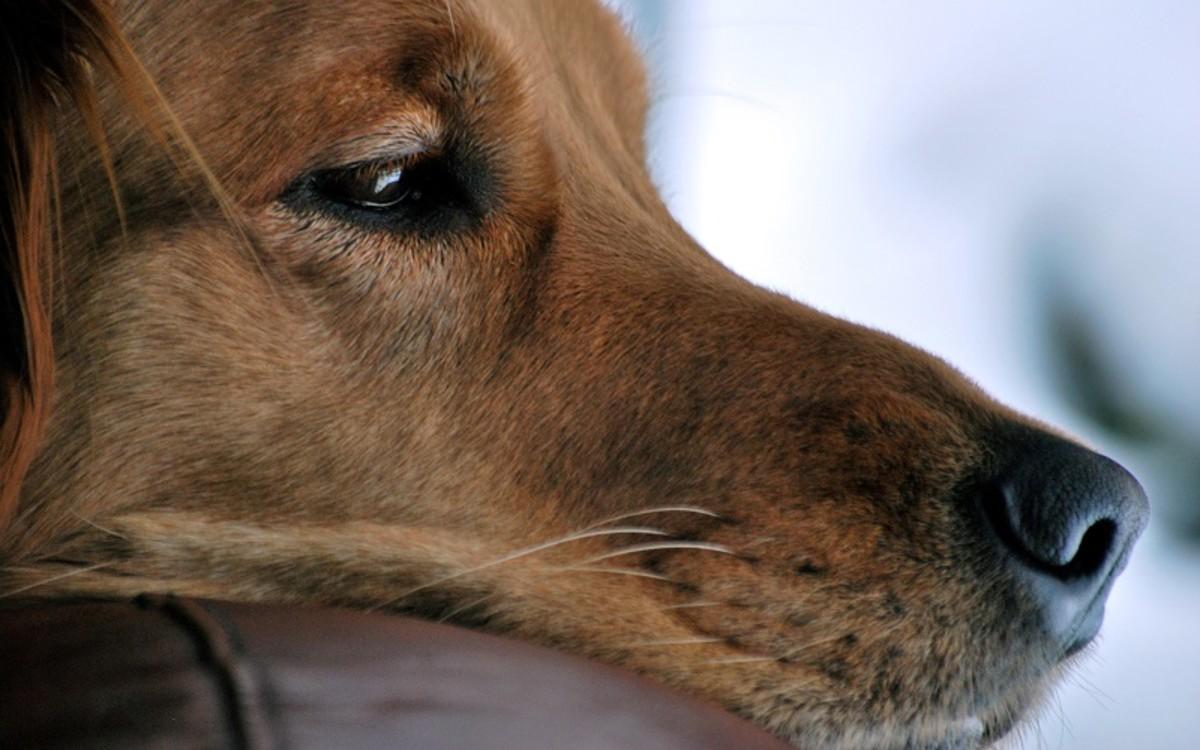 Orange Stool in Dogs
