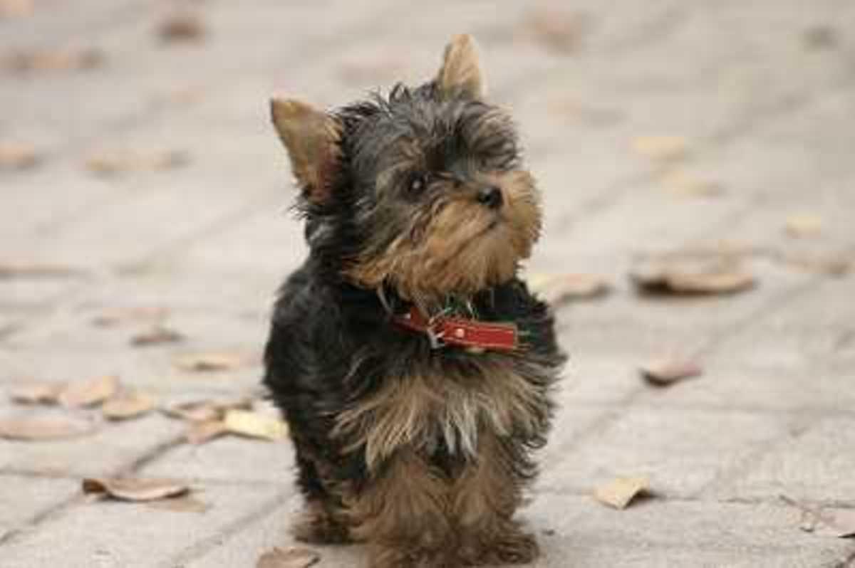 Dog Hypoglycemia (Toy Breed)
