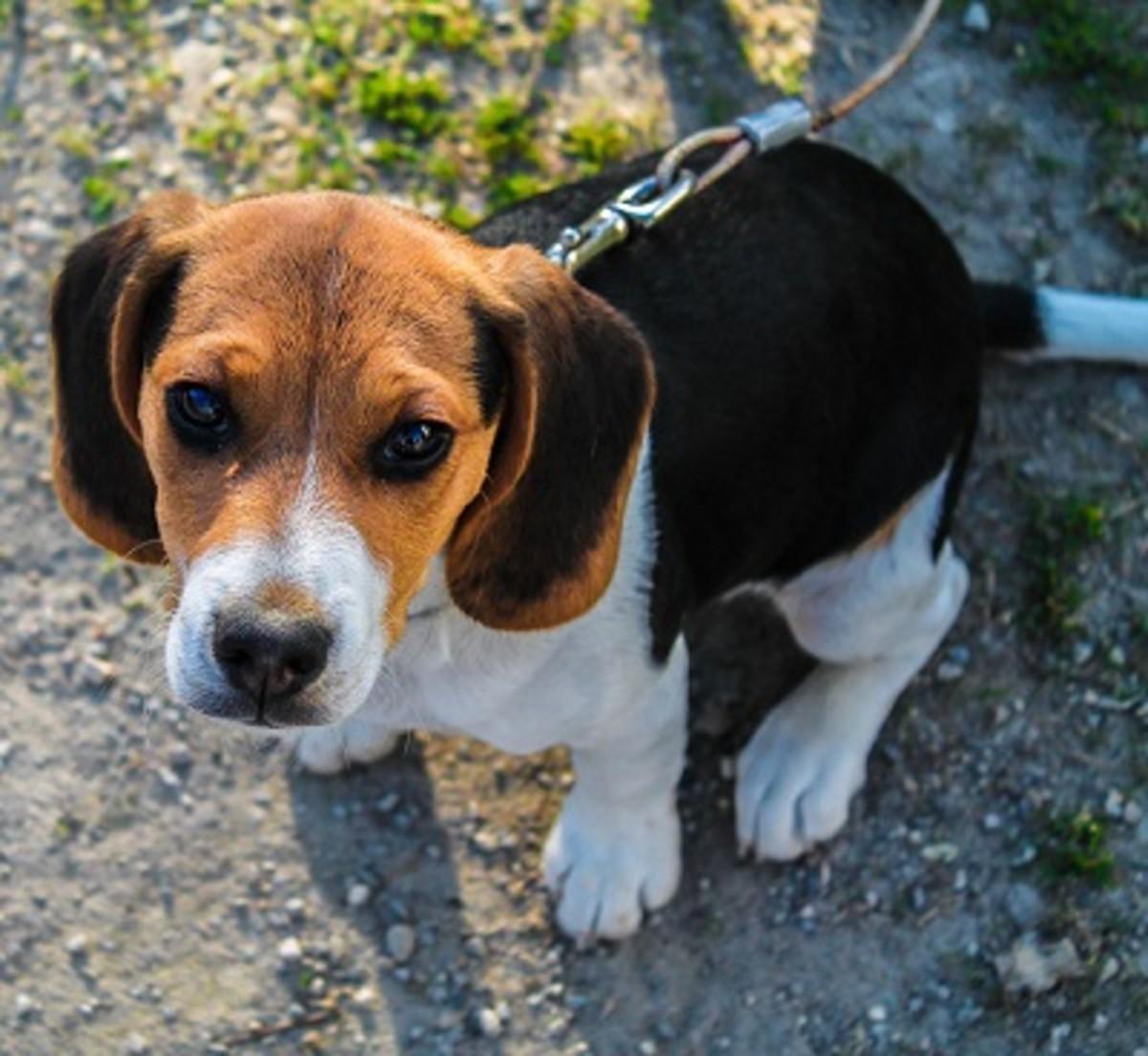 Dog Allergies Home Remedies