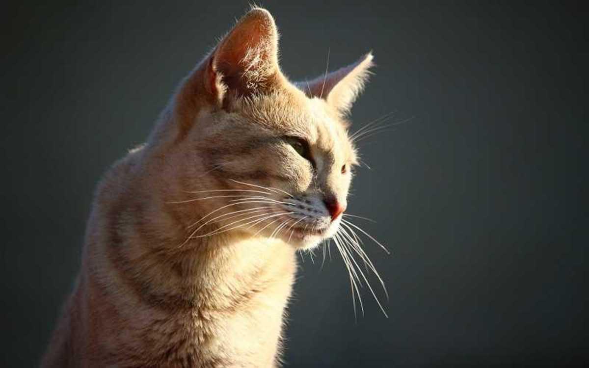 Feline Idiopathic Cystitis