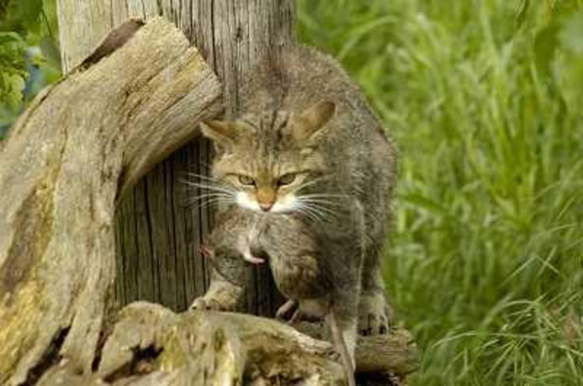Cat Killing Prey