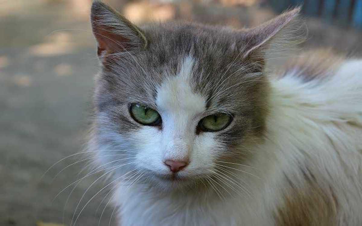 Cat with Diabetes