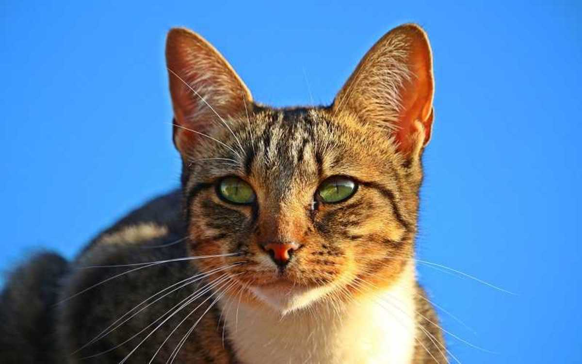 Male Cats Urinary Blockages