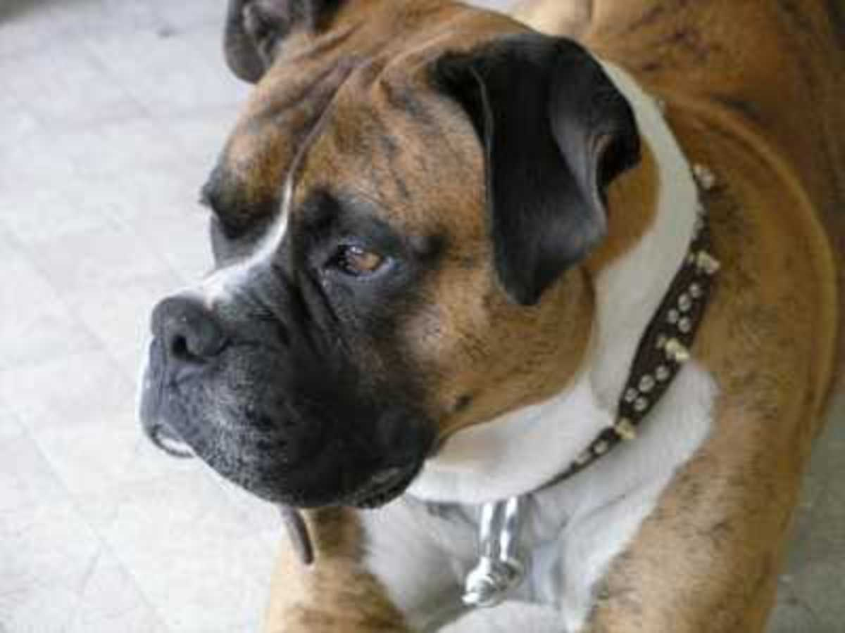 Salivary Gland Infections in Dogs