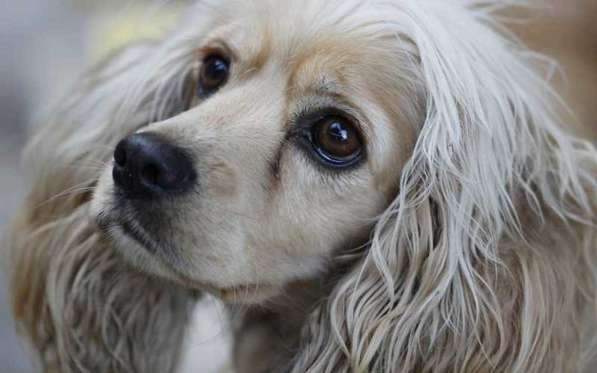 Tear Stains in Dogs