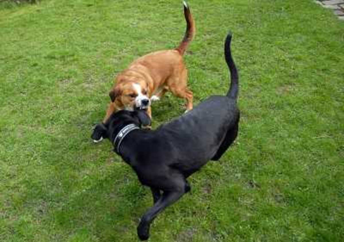 Dog Aggressive Towards Other Dogs