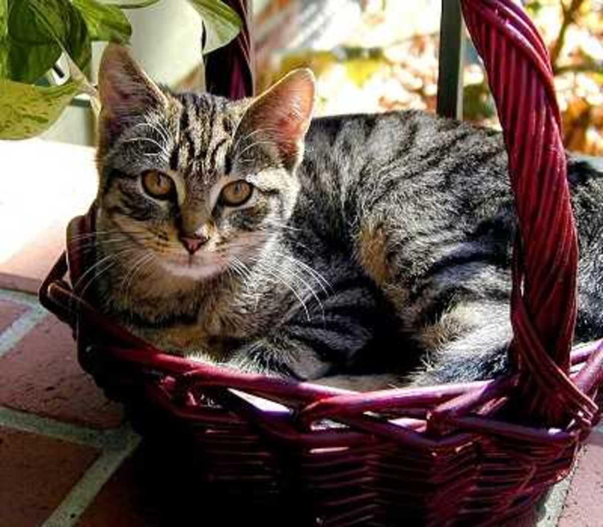 Cat Anemia