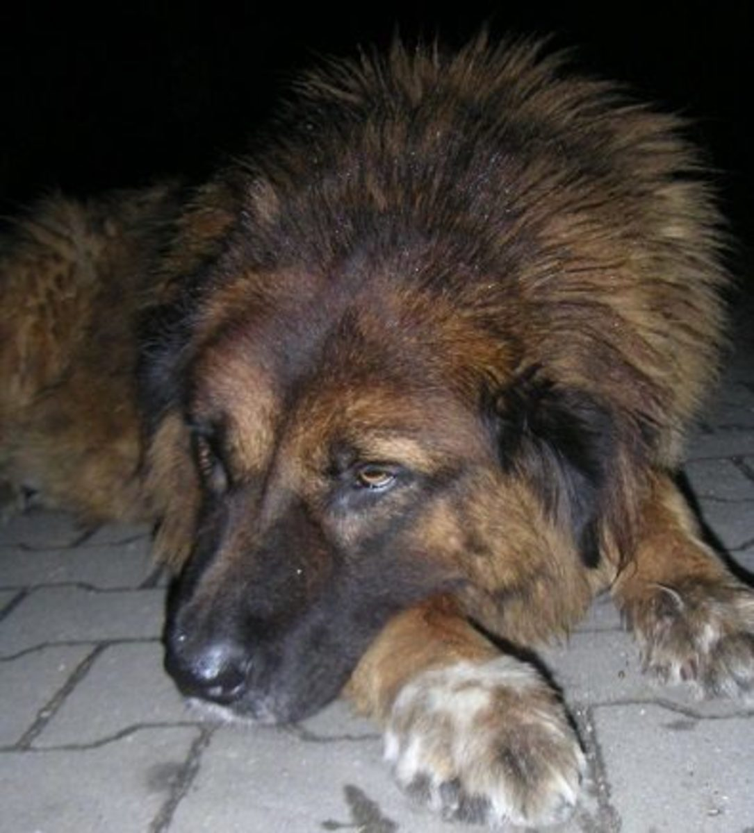 Natural Remedies Dog Dementia