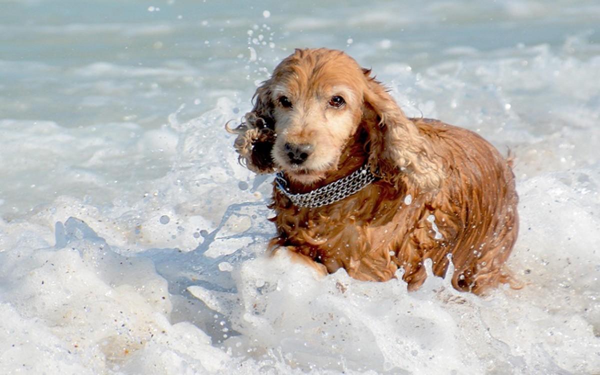 Swimmer's Ear in Dogs