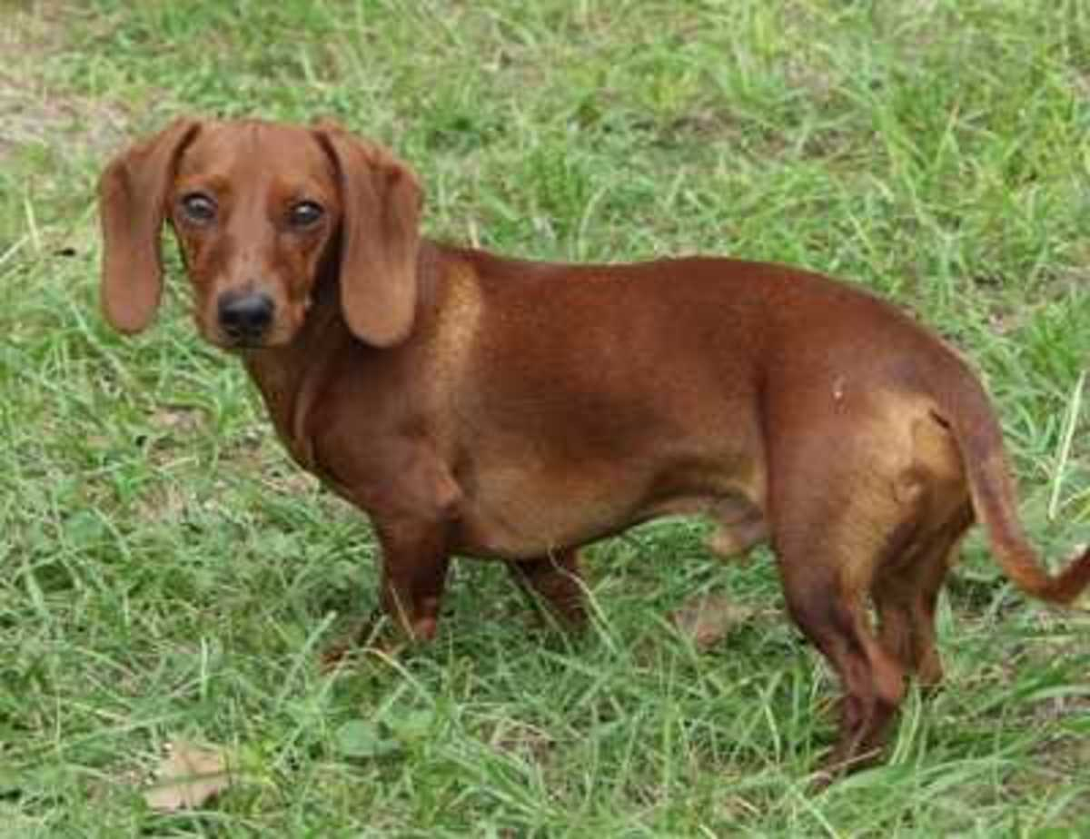 Canine Hypocalcemia (Eclampsia)