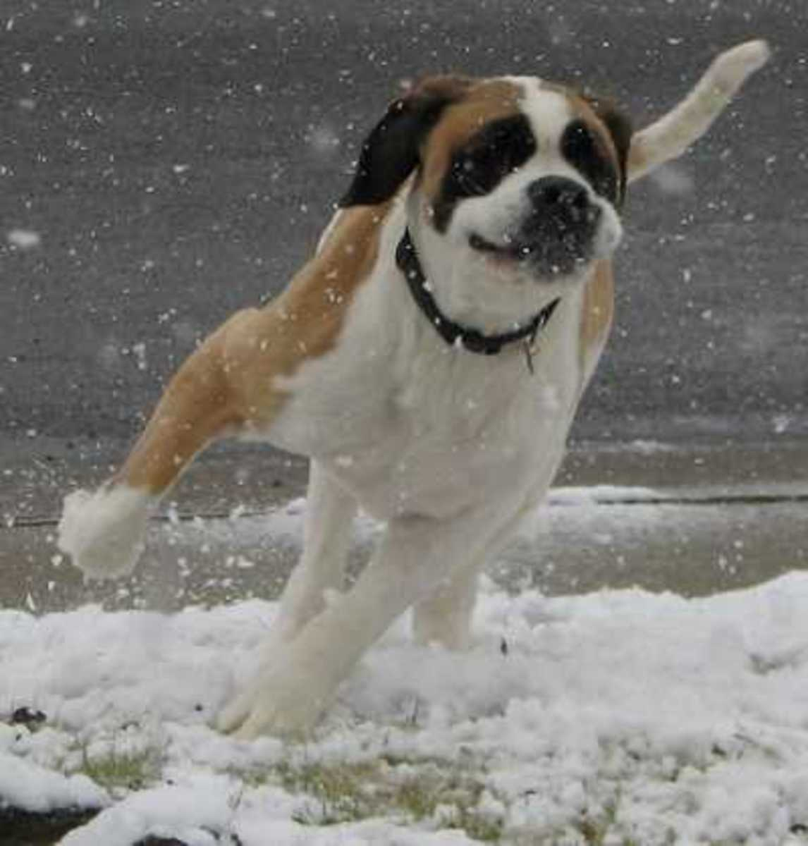 Dog Running in Circles