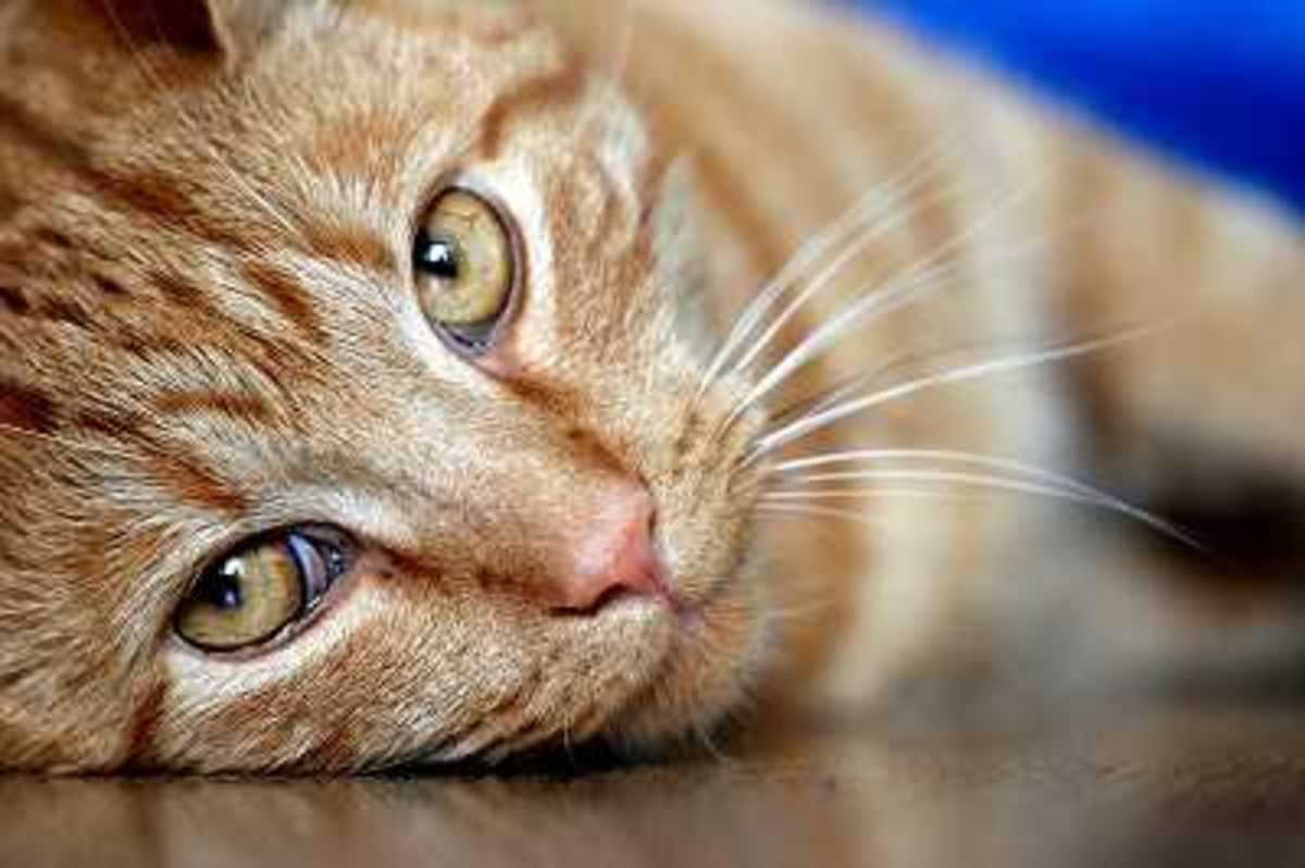 Cat Refusing Medication