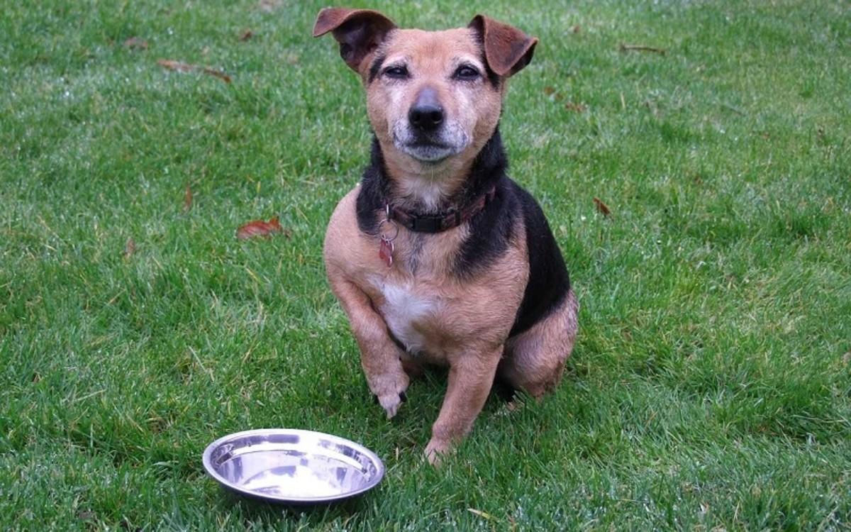 Dog Begging Food