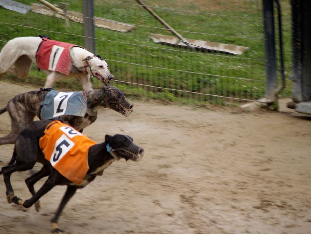 Muzzles can help determine the winner in greyhound racing.