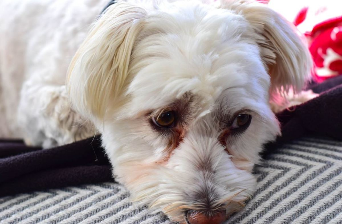 This dog's fur color change around the eye area is due toporphyrinsfound in a dog's tears.