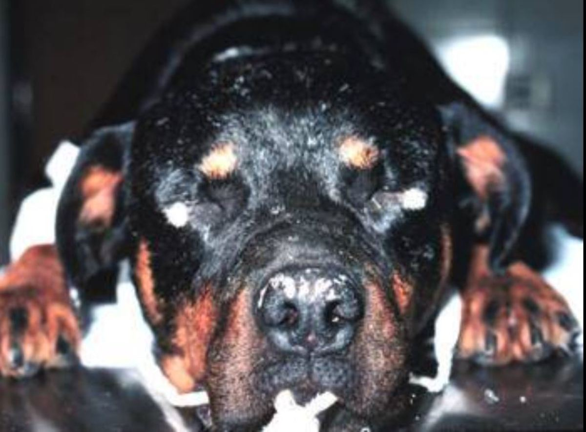 Rottweiler with vitiligo (notice the white hair areas under eyes and abnormal nose color) Source: Wikimedia CC BY-SA 3.0