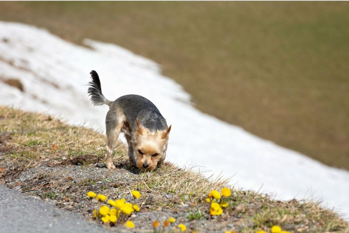 Poop is more readily found if the grass is stomped all around it and the dog detects the scent of broken vegetation.
