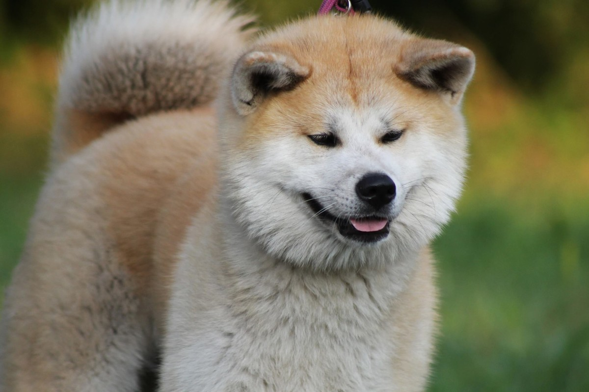 The Akita has a bear-like appearance