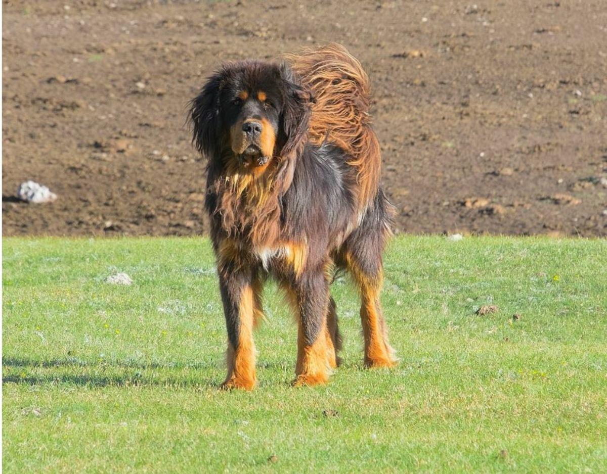 Tibetan Mastiff in the pasture, by Alexandr frolov,Creative CommonsundefinedAttribution-Share Alike 4.0 International