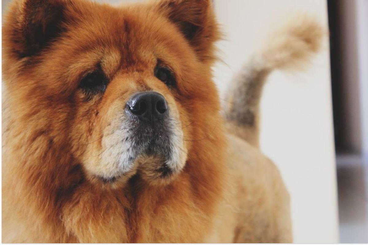 The Chow Chow dog breed looks like a bear