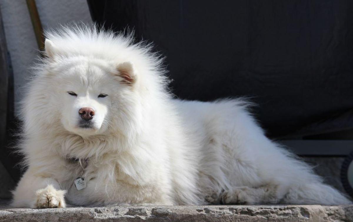 Samoyed look like small polar bears.
