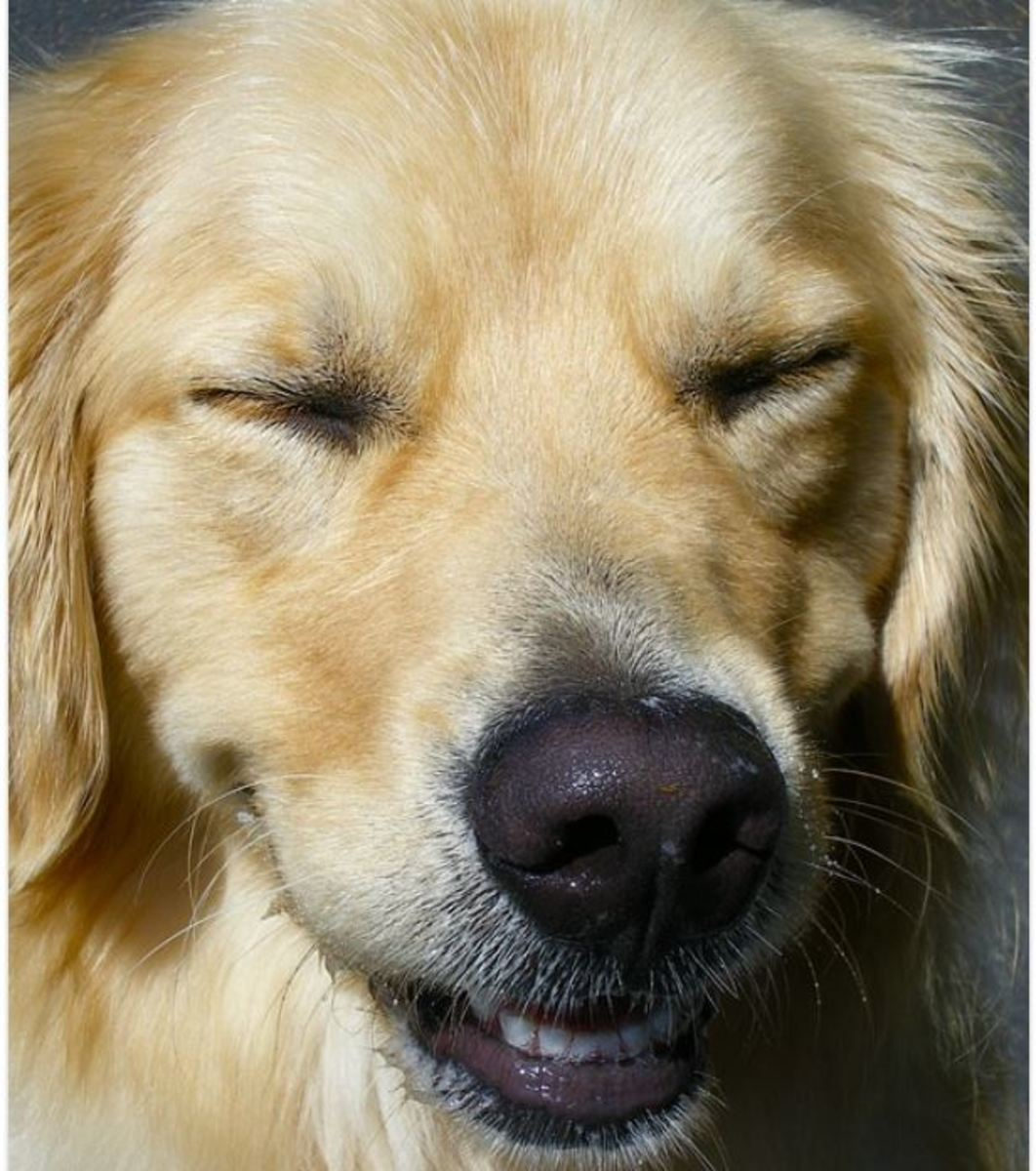 A submissive grin in dogs is intended to pacify or appease.