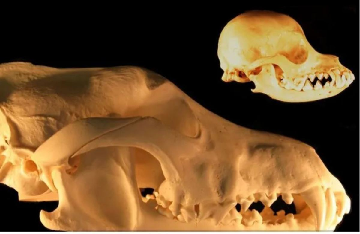 Neoteny and reduction in skull size - grey wolf and chihuahua skulls, photo by Dmccabe, Wikipedia, CC BY-SA 3.0