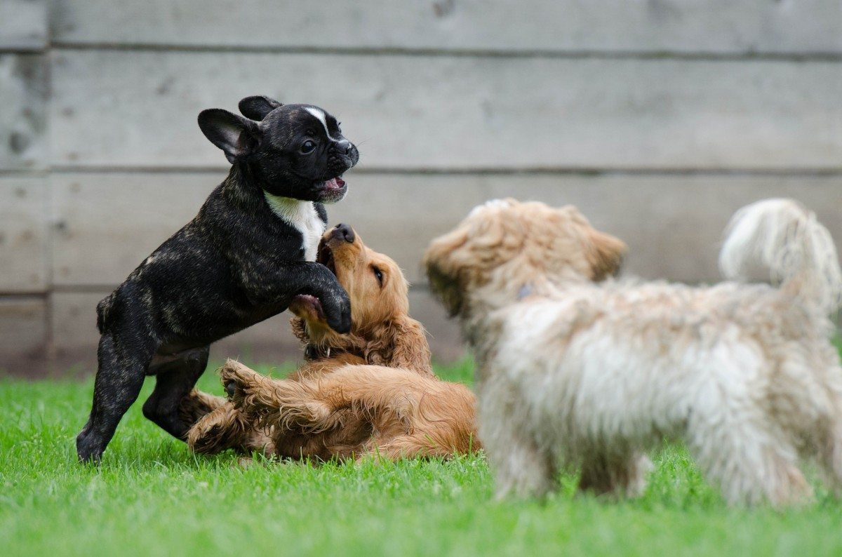 Play biting is a natural, instinctive way puppies play.