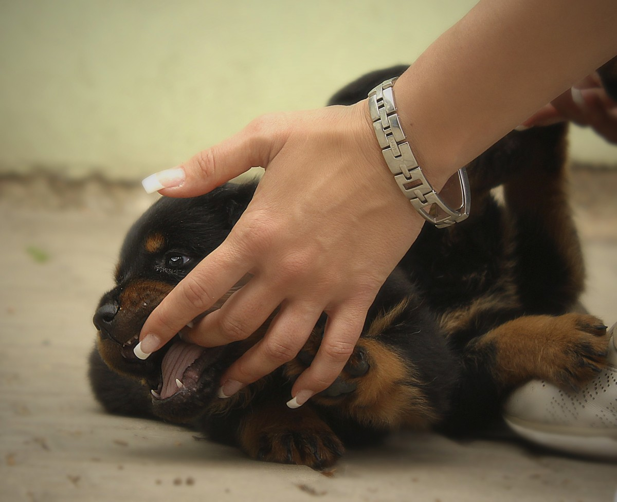 Most young and healthy puppies will bite your hands and fingers with their needle-sharp teeth.
