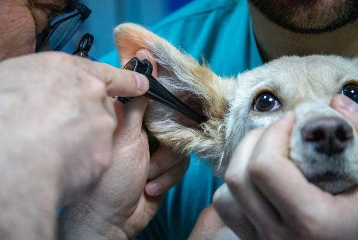 Have your vet inspect your dog's ears to determine the underlying cause of the smell
