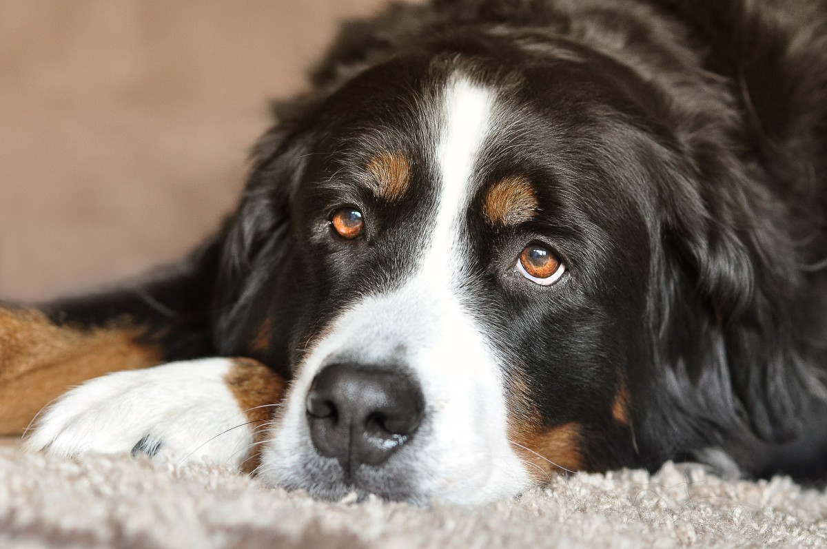 Some dogs have distinctive markings that resemble eyebrows