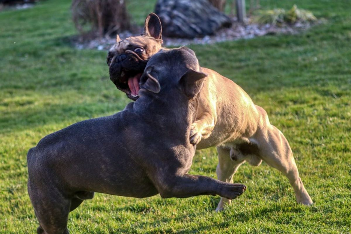Some dogs will bark and lunge towards the other dog to send him away from you.