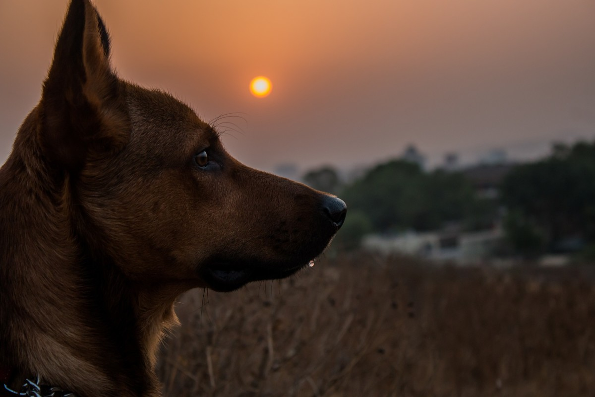 Dogs see well in the dark because they have a history as crepuscular hunters.