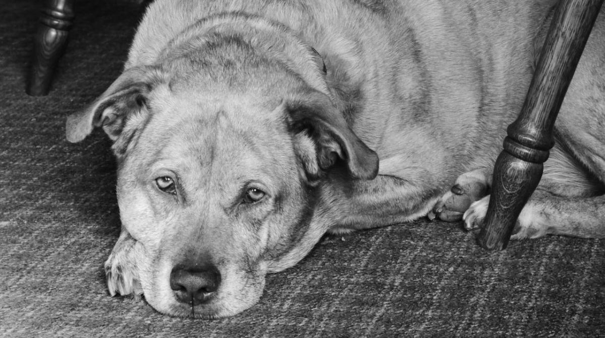 Weight gain during the winter can put a strain on a dog's joints.