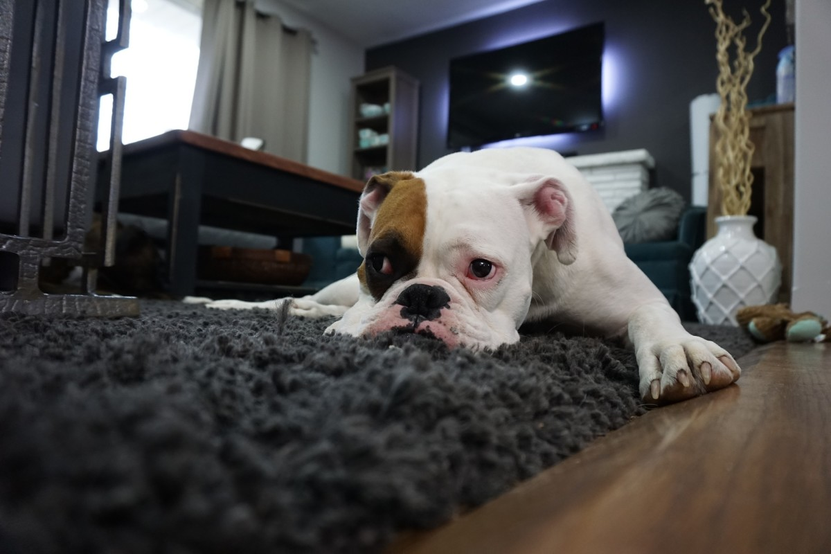 Bored dogs are more likely to dig at carpets