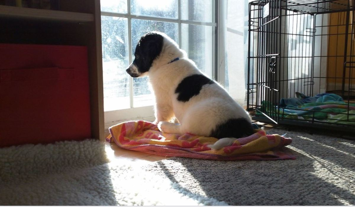 Dogs anxious about being left alone may dig at carpets.