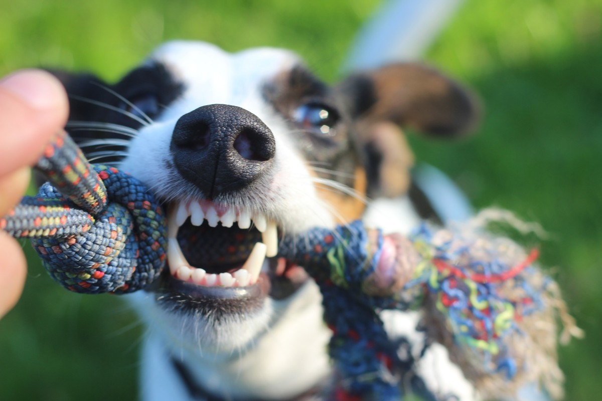 Tugging includes components that play a role in a dog's success as a hunter.