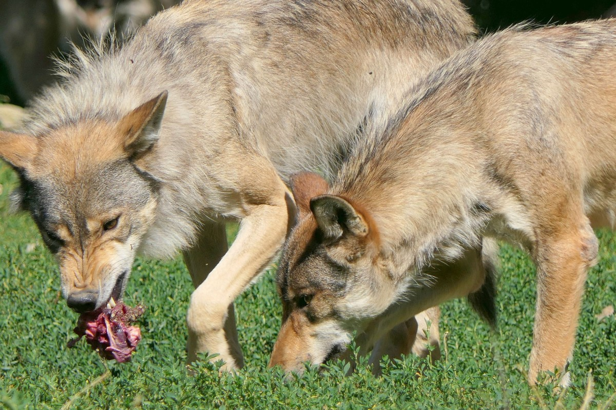 A dog's evolutionary past may help provide some insights as to why dogs love to play tug.