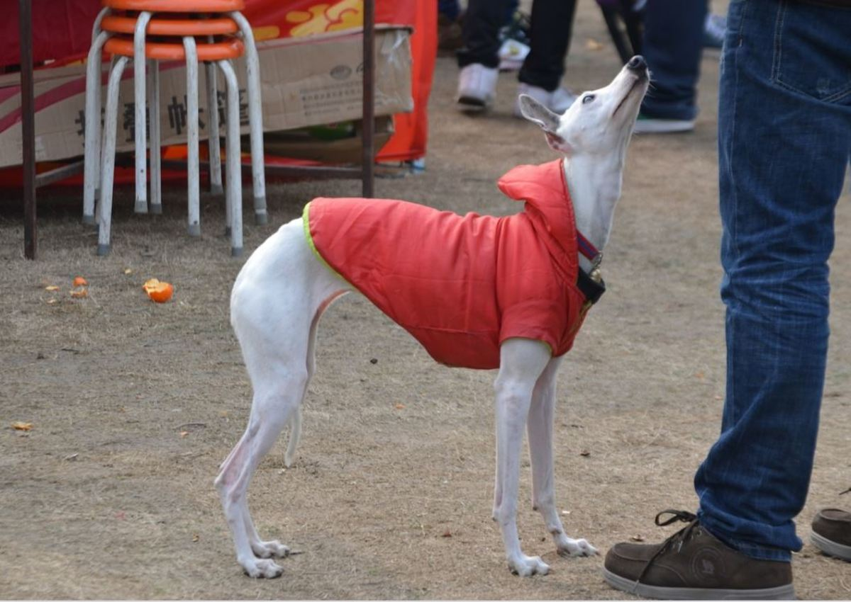 Different dog breeds have different natural tail carriages. Italian Greyhounds, for instance, have a very low neutral tail position.