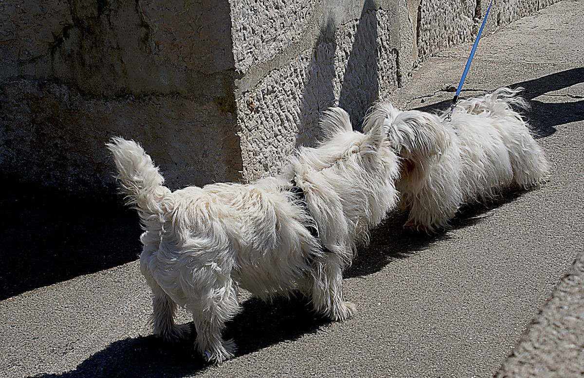 When dogs wag their tails, their anal glands are spreading pheromones that are released for identification purposes.