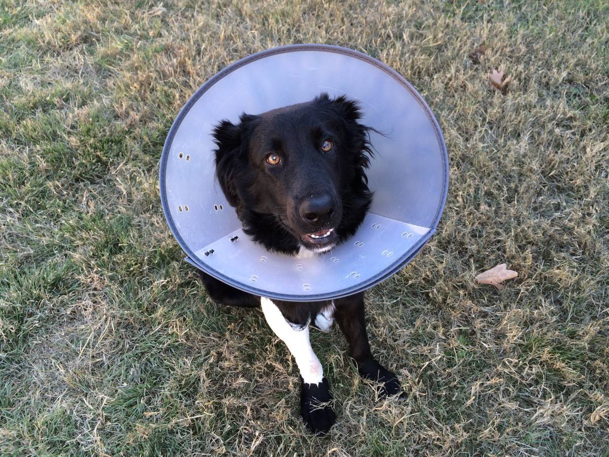 An Elizabethan collar can help stop your dog from licking his wound.