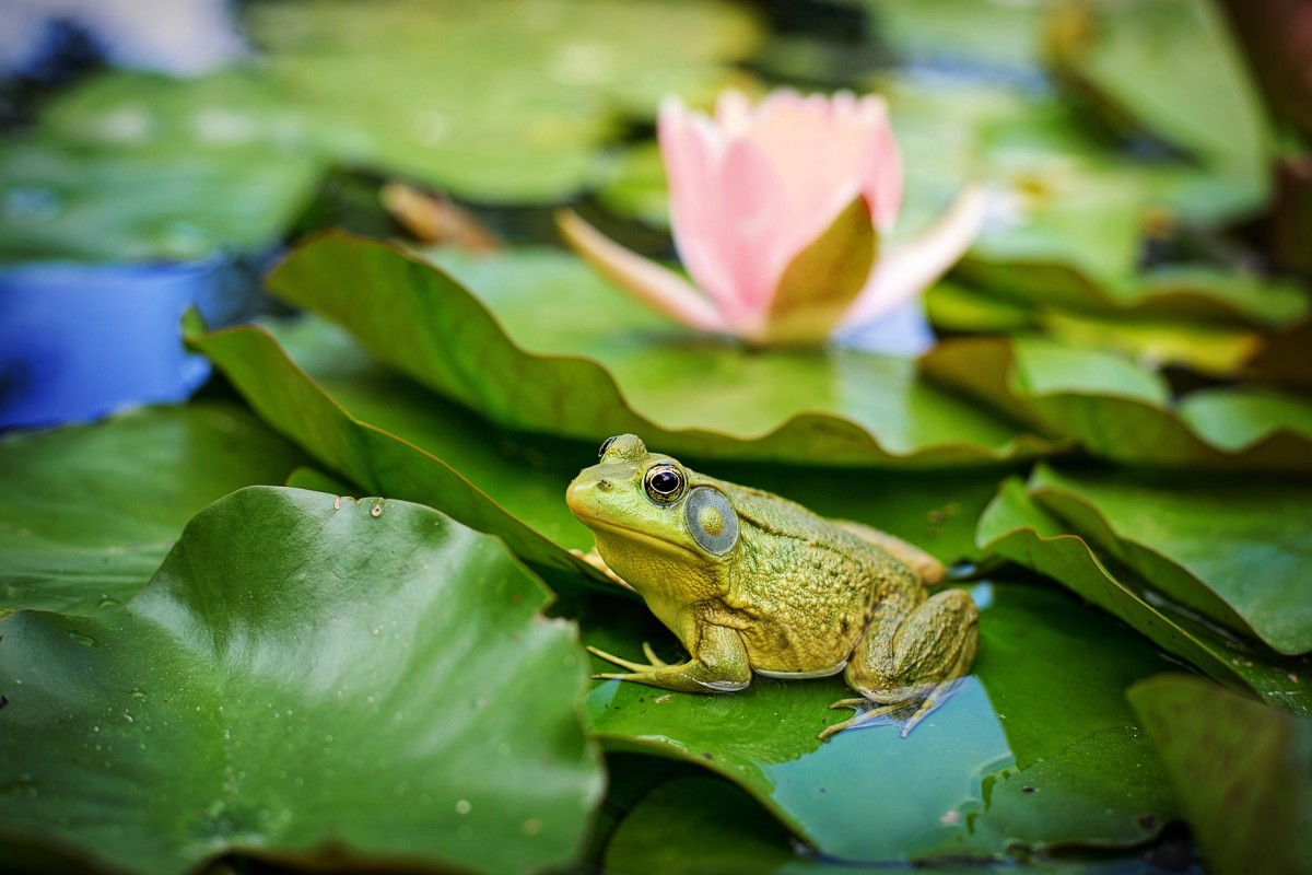 Picture of a frog.