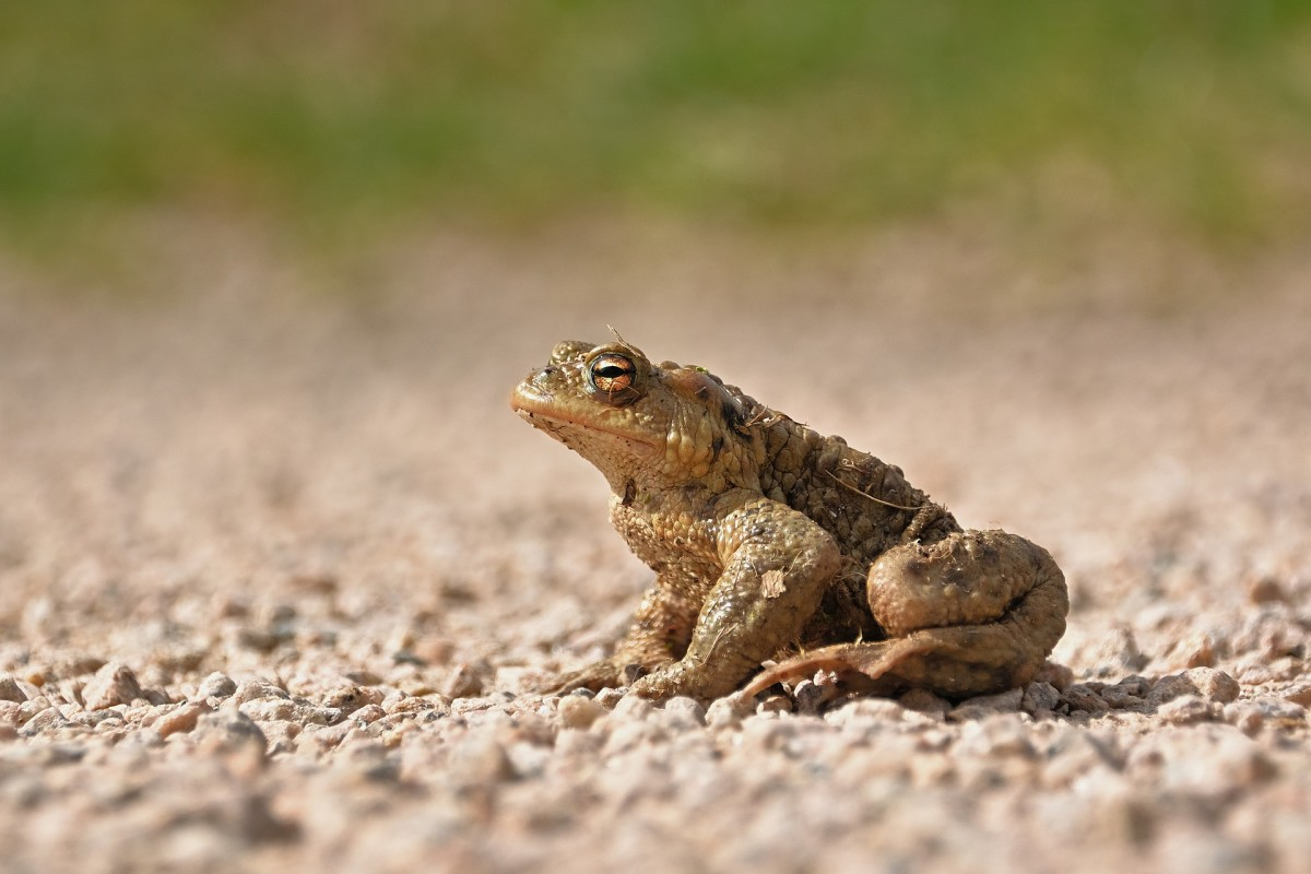 Picture of a toad.