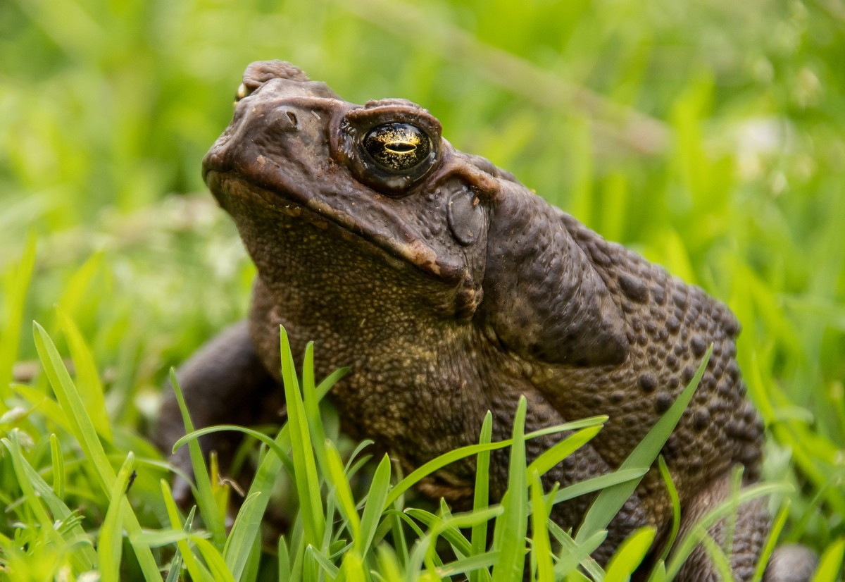 Picture of a Marine Toad, also known as Cane Toad(bufo marinus)