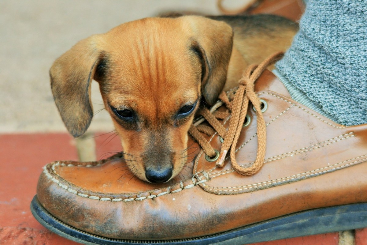 Puppies find leather shoes irresistible.